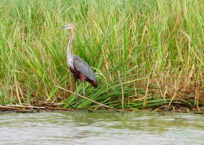 Lake Chamo 15 heron