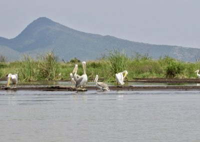 Lake Chamo 17 pelican
