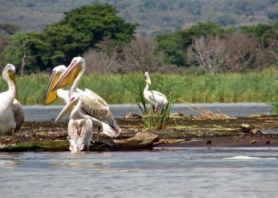 Lake Chamo 18 pelican