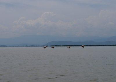 Lake Chamo 3 pelican