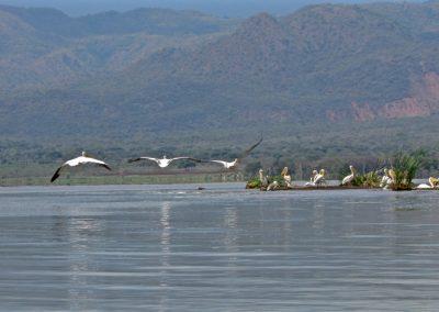 Lake Chamo 4 pelican