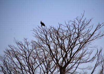 Lake Chamo 8 fish eagle